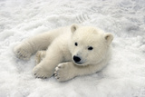 Polar Bear Cub Playing in Snow Alaska Zoo