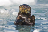 A Sea Otter Swimming Amongst Sea Ice in Harriman Fjord  Prince William Sound  Southcentral Alaska