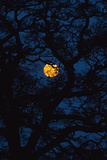 Moon Rising Behind Old Oak Tree  Petersfield  Hampshire  Uk