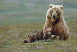 Grizzly Bear Sow with 4 Young Cubs Near Moraine Creek Katmai National Park Southwest Alaska Summer