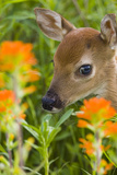 White-Tailed Deer Fawn in Wildflowers and Tall Grass Minnesota Spring Captive