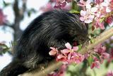 Captive Young Porcupine on Branch Minnesota