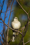 Portrait of a Northern Mockingbird  Mimus Polyglottos  Perched in a Tree Top