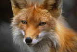 Captive: Close Up of Red Fox at the Alaska Wildlife Conservation Center
