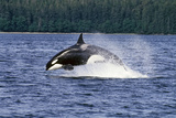 Orca Whale Breaching Cross Sound Inside Passage Se Ak Southeast Alaska Summer