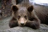 Grizzly Bear Cub Laying on Ground Alaska Wildlife Conservation Center Sc Alaska Summer Captive