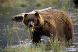 Brown Bear with Mouth Full of Grass in Marsh Captive Alaska Wildlife Conservation Center Autumn