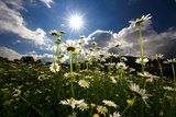 The Sun Shines on a Patch of Daisies