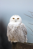 A Snowy Owl  Bubo Scandiacus  Perches on a Fence and Scans the Winter Landscape