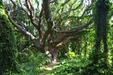 Hawaii  Maui  Honolua  a Tree Surrounded by Lush Green Vines