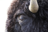 Close Up of the Head of an An American Bison  Bison Bison