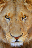 Portrait of an African Male Lion with Scars  in South Africa