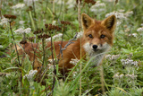 A Red Fox on Atlasova Island in the Sea of Okhotsk
