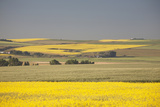 Flowering Canola Fields Mixed with Green Wheat Fields and Rolling Hills