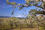 Apple Blossom Trees
