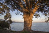 A Eucalyptus Tree Overlooking the Santa Barbara Channel