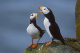 Horned Puffin Pair on Ledge with One Calling in Courtship Display