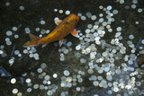 A Koi Fish Swims Above a Pile of Coins in a Pond