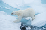 A Polar Bear Steps from One Chunk of Drift Ice to Another