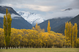 Cottonwoods and Willows in Autumn in the Matukituki River Valley
