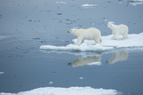 A Polar Bear and Cub Stand on Melting Pack Ice
