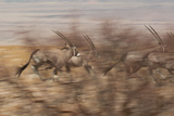 A Group of Oryx on the Run in Namib-Naukluft National Park