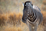 A Plains Zebra  Equus Quagga  Stands in Tall Grass at Sunset
