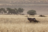An Orix Grazing in the Namib-Naukluft National Park at Sunset