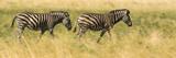 Two Zebras Walking on the Plains of the Selinda Reserve Papier Photo par Michael Melford