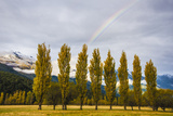 Willows in a Row in the Matukituki River Valley
