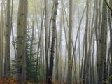 Foggy Aspen Forest Near Ester Interior Ak Autumn