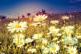 Summer Field with White Daisies Dramatic Morning Scene Ukraine  Europe Beauty World Retro Style