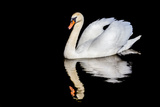 Swan with Reflection