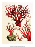 Red Coral  Cabinet of Natural Curiosities (1734-1765)