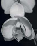 Night Orchid I