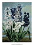 Botanical Print  Hyacinths