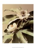 Lotus Flower  Vintage Japanese Photography
