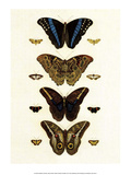 Blue Morphos Butterflies and Moths