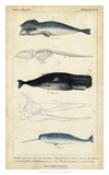 Antique Whale & Dolphin Study III