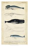 Antique Whale & Dolphin Study III Giclée par G. Henderson