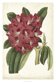 Antique Rhododendron II