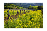 Yellow Mustard And Old Grapevines