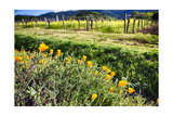California Poppies In Napa Valley