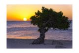 Eagle Beach Sunset witha Divi Tree  Aruba
