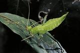 Heteropteryx Dilatata (Jungle Nymph  Malaysian Stick Insect) - Larva