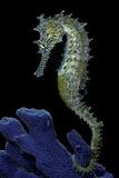 Hippocampus Kuda (Common Seahorse  Estuary Seahorse  Yellow Seahorse  Spotted Seahorse)