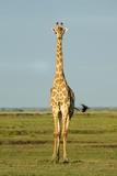 A Male Giraffe