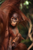 Baby Orangutan Clinging to its Mother