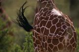 Reticulated Giraffe Swishing Tail