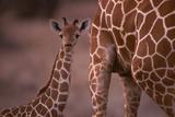 Reticulated Giraffe Calf